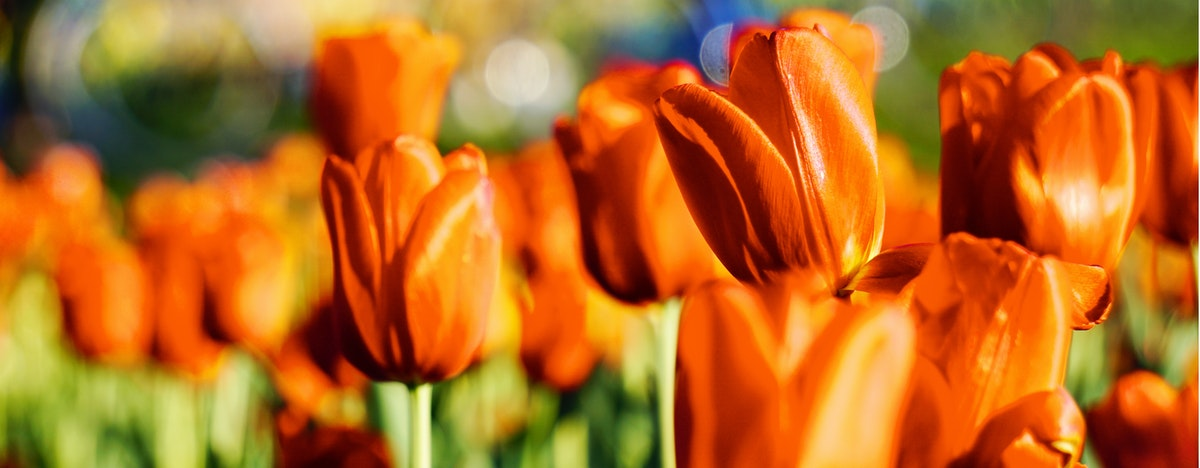A close up shot of a bed of orange tulips, in the sunlight. Most are  blurred, but the one in perfect focus captures your attention.